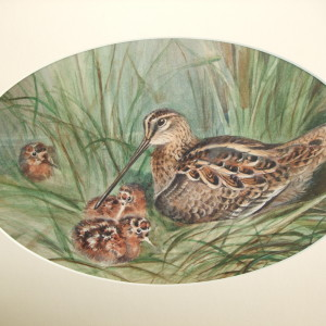 X2 (SOLD) Snipe with young (unsigned)