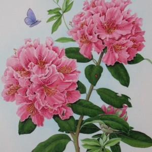 (ref b) Rhododendron (Cynthia)