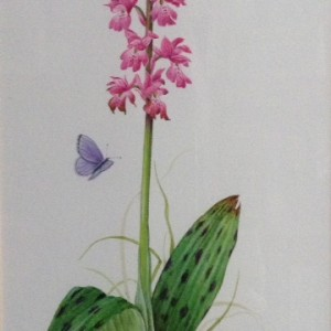(ref b) Early Purple Orchid