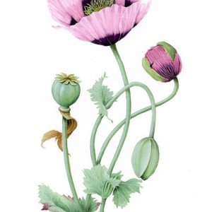 (ref b) Opium Poppy