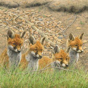 Fox Cubs – Waiting for Mum!