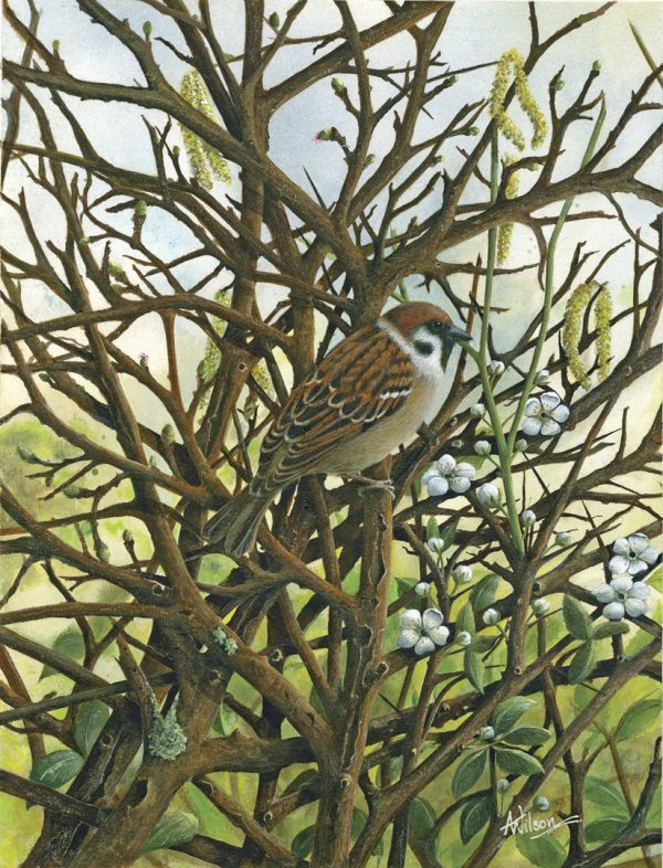 X (SOLD) Tree Sparrow