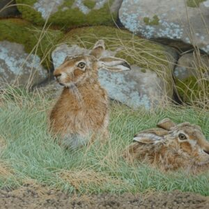 Brown Hares – Guarding the Doe