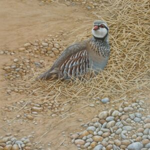 A Red Legged Partridge